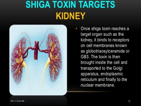 ecoli-o104-h4-shiga-toxins-10-728