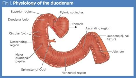 Fig-1-Physiology-of-the-duodenum_660